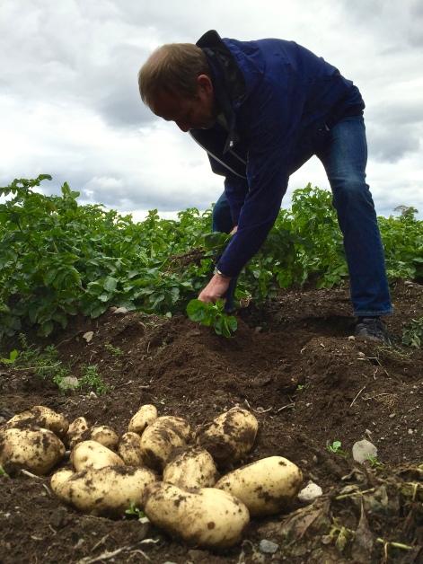 Anders Lie graver opp noen prakteksemplarer av den nye sorten Toten Sharpes, så vi kan se.